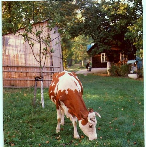 krowa łęki 28 lat temu